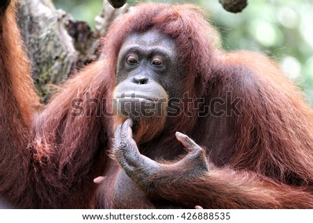 The female orangutan was wondering about the future