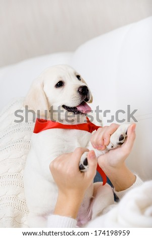 The female owner hands the paws of white puppy of Labrador with red ribbon on the neck