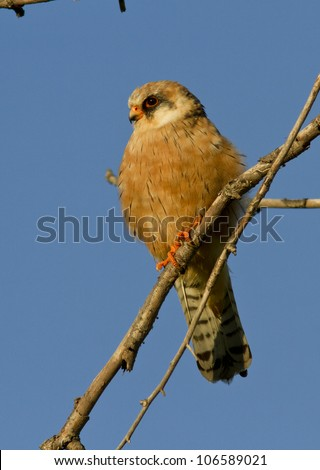 The female Red-footed falcon is sitting on a tree.