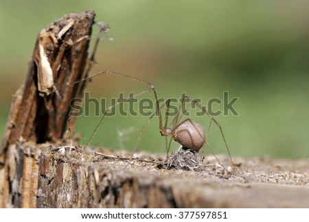 The female spider builds a nest with eggs.