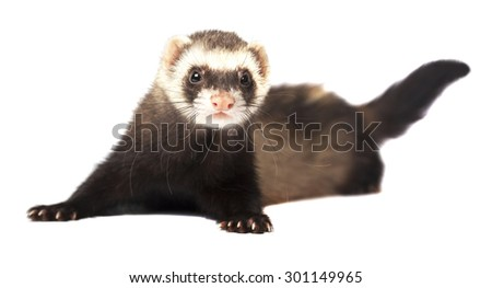 The ferret is played - stock photo