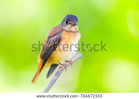 The ferruginous flycatcher (Muscicapa ferruginea) is a species of bird in the family Muscicapidae.