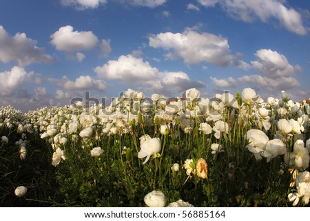 "The field of blossoming white buttercups photographed by a lens"" Fish eye"""