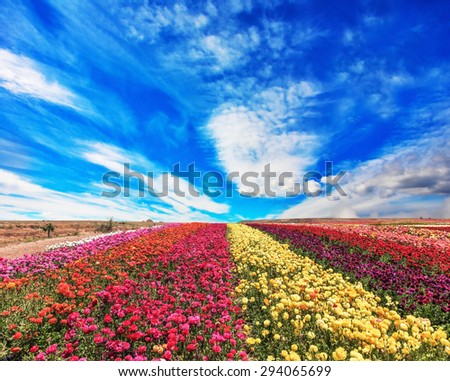 The field of buttercups /ranunculus/ on  windy spring day. The flowers are brightly colored stripes and ready to harvest - stock photo