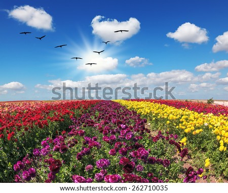 The field of flowers. Flies over a field flock of cranes. Flowers grow stripes of different colors - red, pink, maroon and yellow - stock photo