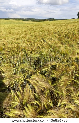 The Field of gold green Barley with storm cloudy Sky - stock photo
