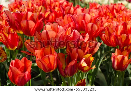 The field of red with yellow tulips