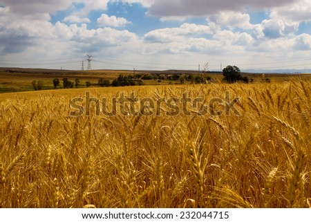 The field of ripe wheat - stock photo