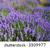 the field of the lavender in mountain - stock photo