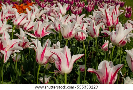 The field of white with pink tulips