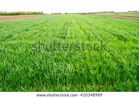 The field of young wheat. Background green grass - stock photo
