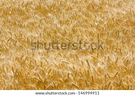 The field with wheat ears