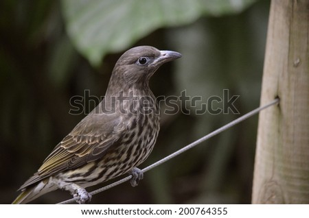 the figbird is standing on a piece of string - stock photo