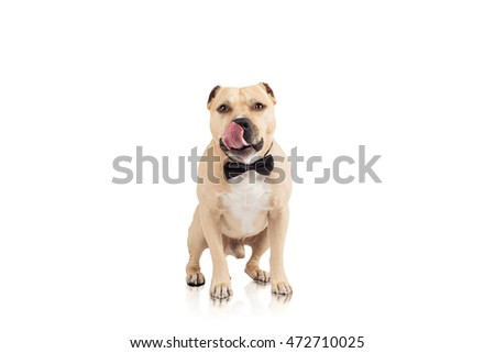 The fighting dog   posing in bow- tie in studio at white background