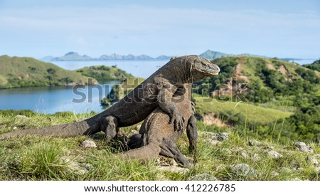 The fighting Komodo dragons (Varanus komodoensis) for domination, It is the biggest living lizard in the world, Indonesia. - stock photo