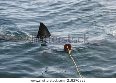 The fin of a great white shark cuts through the water as it approaches the decoy in Gansbaai, South Africa - stock photo