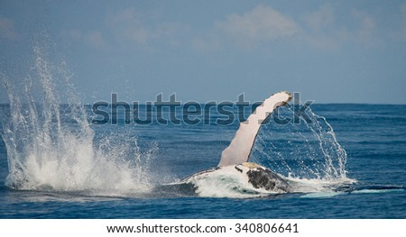 The fin splashing humpback whale. Madagascar. St. Mary's Island. An excellent illustration.