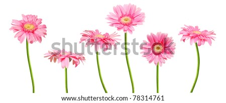 the finest gerber blooms - stock photo