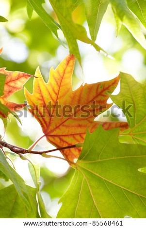 The first autumn maple leaf among the green leaves - stock photo
