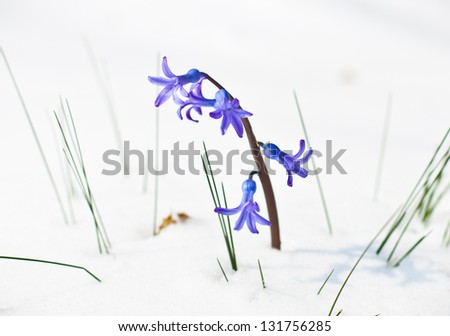 The first buds of blue hyacinth in spring.Season concept. - stock photo