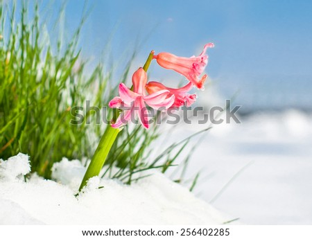 The first buds of red hyacinth in spring. Season concept. - stock photo