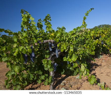 The first century old vine starting another row of wine grapes in a commercial vineyard. - stock photo