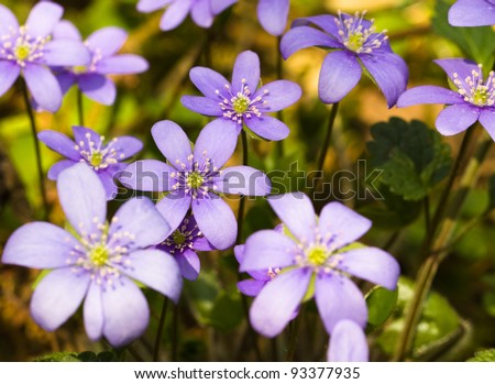 The first flowers appearing in a spring season. Small depth of sharpness. Focus on the central flowers - stock photo