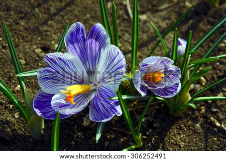 the first flowers are crocuses - stock photo