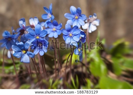 The first flowers in spring time - stock photo