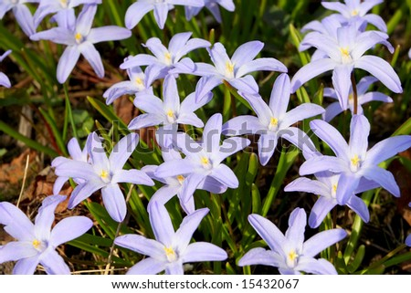 First small blue flowers early spring stock photo royalty free the first small blue flowers in the early spring in russia mightylinksfo