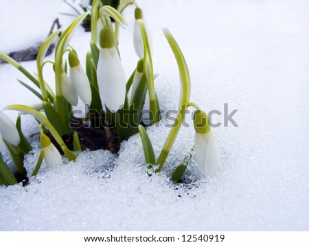 The first snowdrops among thawing snow
