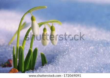 The first snowdrops ascended from under the snow  - stock photo