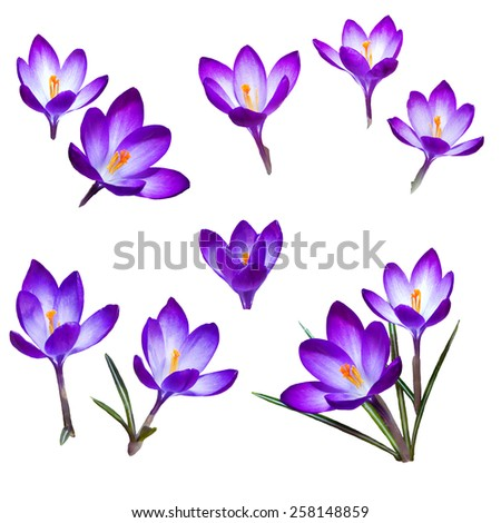 The first snowdrops saffron isolated on white background - stock photo