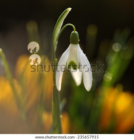 The first spring flower -  snowdrops.  - stock photo