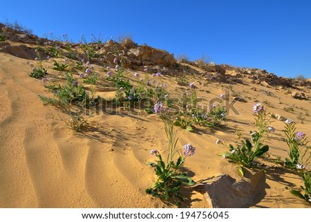 The first spring flowers in the desert - stock photo
