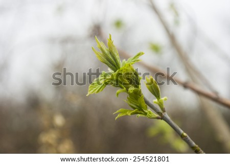 The first spring gentle leaves, buds and branches macro backgrou - stock photo