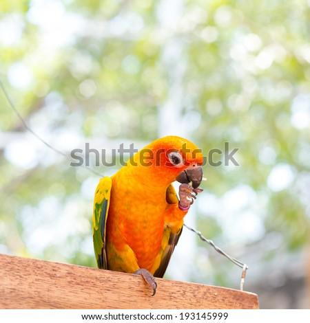 The Fischer's Lovebird (Agapornis fischeri) - stock photo
