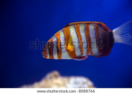 The fish Australian harlequin, that sails in the aquarium. - stock photo