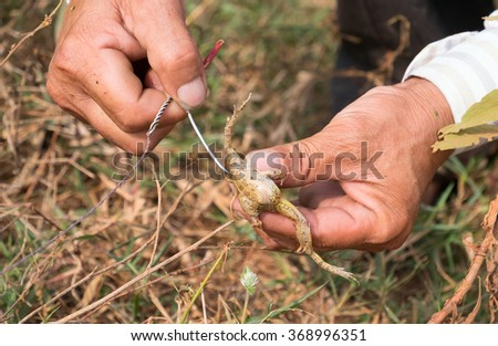 The fisherman attaches the frog to the fishing hook - stock photo