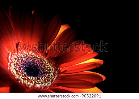 The flame. Purple gerbera flower closeup shot - stock photo