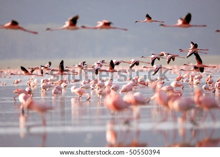 The flamingo, which is the main attraction for tourists at Lake Nakuru National Park, Kenya - stock photo