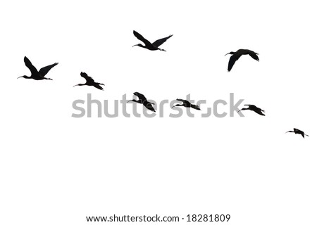 The flight of the sacred ibis(Threskiornis Aethiopicus)isolated.