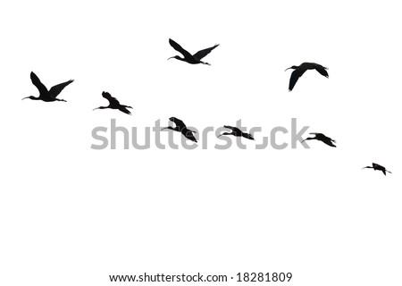 The flight of the sacred ibis(Threskiornis Aethiopicus)isolated. - stock photo