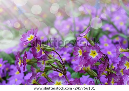 The flower lilac primrose as a background - stock photo