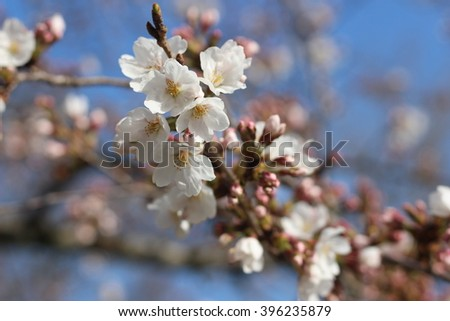 The flower of a cherry tree which blooms on the way