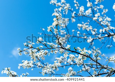 The flower of a cherry tree which blooms on the way. Flowering cherry in the spring, the scent of blossoming apricot. - stock photo