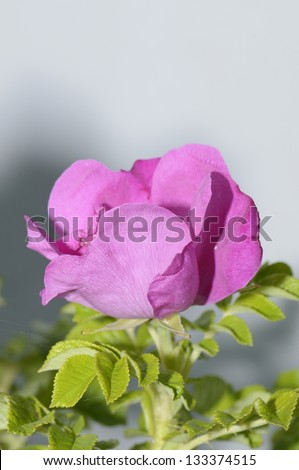 The flower of a wild rose photographed close up - stock photo