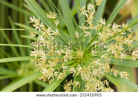The flower of papyrus - stock photo