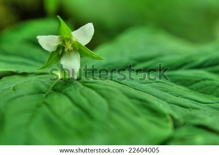 The flower of the Japanese alpine plant(HDR) - stock photo