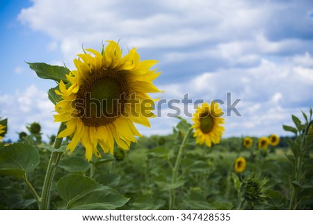 The flower of the sun. A field of sunflowers.